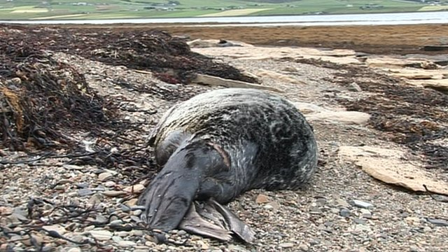 Dead seal on a beach