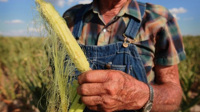 Drought damaged ear of corn in Illinois