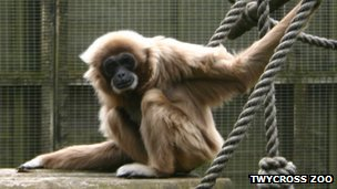Jane, oldest lar gibbon in the UK