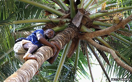 Worker climbing a palm tree