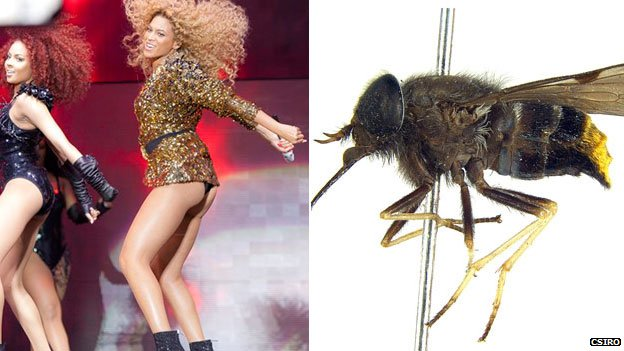 Beyonce and the scaptia beyonceae (AP and Bryan Lessard, CSIRO)