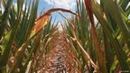 Drought-damaged corn grows on the farm of Jerry Kitowski in Waltonville, Illinois on 16 July 2012