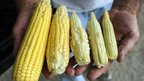 Farmer Joe Fischer holds ears of corn showing the variety of kernel development  Owensboro, Kentucky 12 July 2012