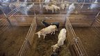 Cattle wait in pens before an auction sale in Conway, Arkansas 17 July 2012