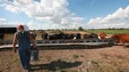 Marion Kujawa feeds corn to his cattle on 16 July 2012 near Ashley, Illinois