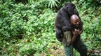 Patrick Karabaranga, a warden at the Virunga National Park, plays with an orphaned mountain gorilla