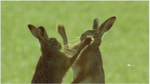 Brown hares boxing