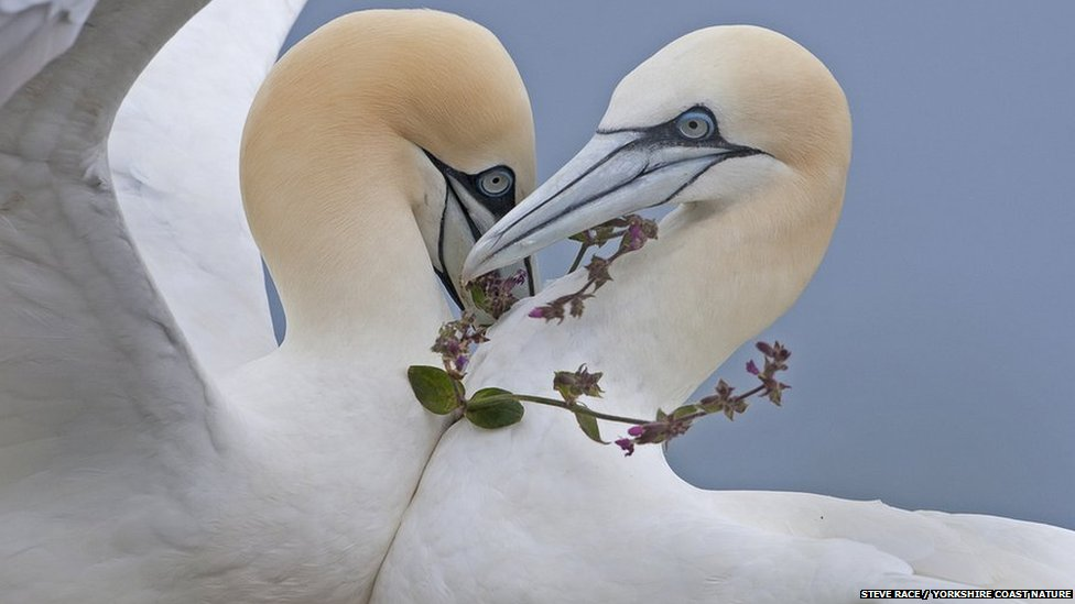 An adolescent gannet presents a partner with a wildlfower necklace