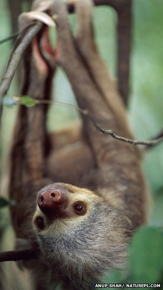 Two-toed Hoffmann's sloth