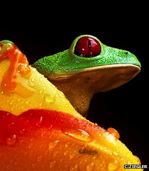Red-eye treefrog (Christian Ziegler, zieglerphoto@yahoo.com)