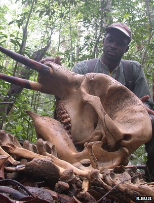 Ranger shows remains skull of a young forest elephant (Image: Ralph Buji)