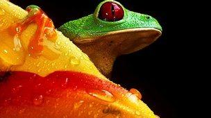 Red-eye treefrog (Christian Ziegler, zieglerphoto@yahoo.com)