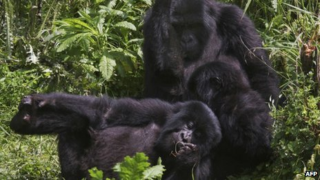 Gorillas in Virunga National Park