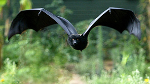 Giant Livingstone&#039;s bat on Comoros