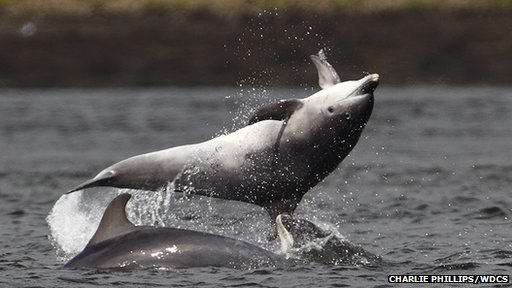 Bottlenose dolphins off South Kessock