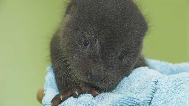 Noah the otter cub
