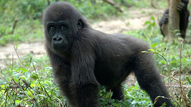 Lowland gorilla in Gabon