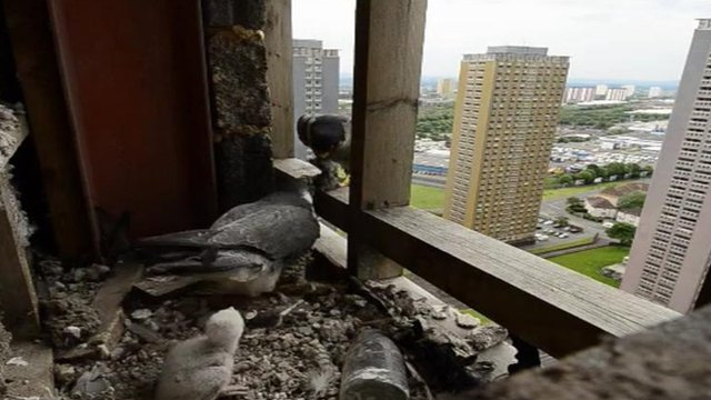 Peregrine falcons and a chick nesting in a derelict flat