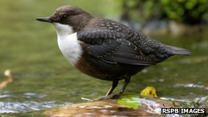 dipper