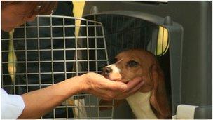 Rescued beagle