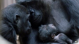 Gorilla Tatu (bottom right) pictured after his birth in Prague Zoo on 30 May 