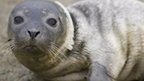 AUDIO: New seal flu 'could affect humans'