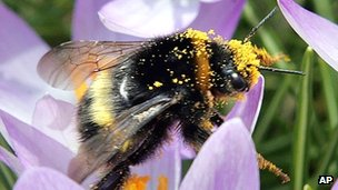 A bumble bee covered with pollen on  a crocus
