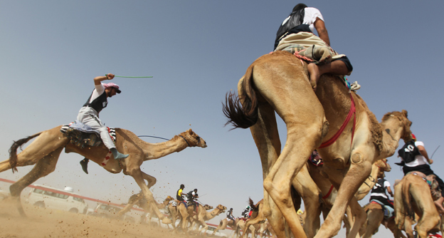 Camel race in Abu Dhabi
