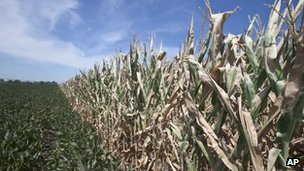 A field of soy beans, left, meets drought-damaged corn in Mead, Nebraska 31 July 2012