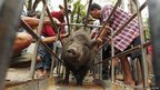 Thai officials prepare a boar for transportation