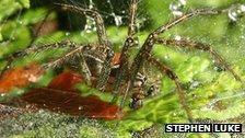 Agelenopsis spider