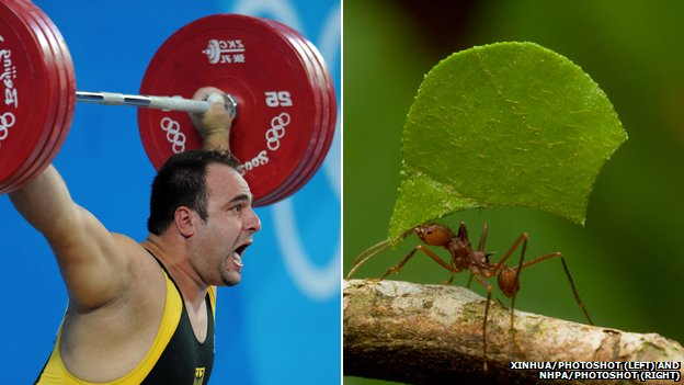 Olympic weightlifter in action and a leaf-cutter ant carrying a piece of leaf