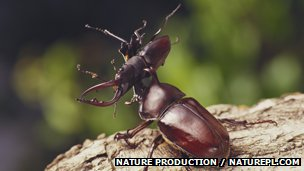 Rhinoceros beetle lifting a saw stag beetle