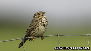 Corn bunting [Pic: Andy Hay/RSPB]
