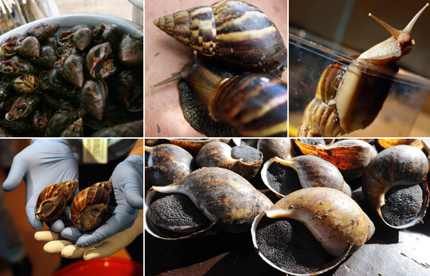 From top left, clockwise: snail in jar, snails in a bowl, two snails, snail in glass, snails in row, giant African snails in hands
