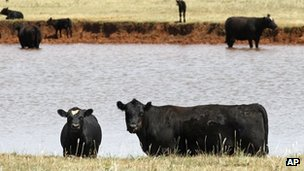 Cattle in a low-water pond in Okarche, Oklahoma 30 July 2012