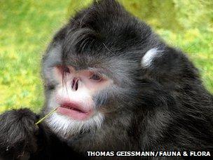 Sneezing monkey