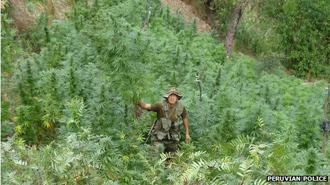 Peruvian police officers pulls out a marijuana plant