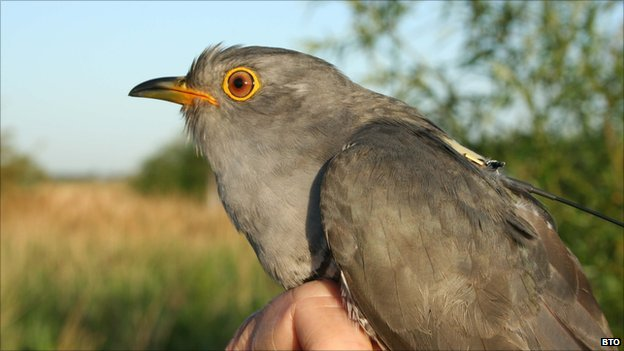Cuckoo with GPS tag (Image: BTO)