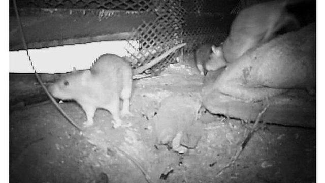 Rats filmed at night