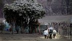Volcanic ash covers a tree as a farmer feeds her horses after the eruption of Mount Tongariro on 7 August 2012