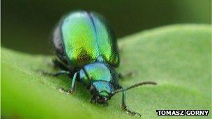 Gastrophysa viridula, green dock beetle