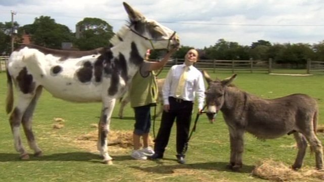 Miss Ellie, an American Mammoth Jackstock donkey