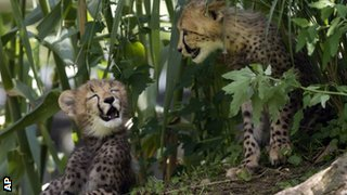A pair of cheetah cubs at Washington Zoo