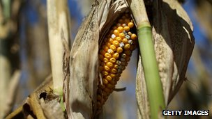 Maize affected by drought