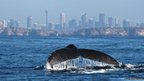 Humpback whale's tail fin rising from the water, with Sydney cityscape in the background
