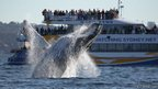 Hump back whale flipping backwards into the ocean while spectators watch from a boat