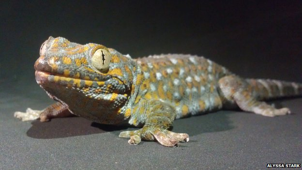 The sure-footed tokay gecko