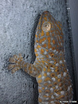 Tokay gecko on misted glass