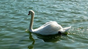 Swan swimming in the Serpentine, Hyde Park, London